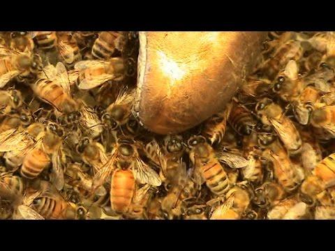 Beekeeping: A Huge Swarm Turning Up.