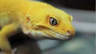 getlinkyoutube.com-Super Giant Leopard Gecko