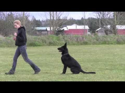 IPO Versatility Obedience Trained German Shepherd