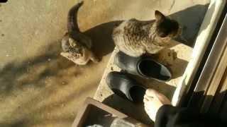getlinkyoutube.com-我が家に来る野良猫たち - Cats coming to my home.