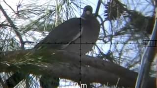 getlinkyoutube.com-wood pigeon hunting 3 neww 20 wood pigeon shots 13-01-2013