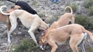 Coyote hunting with greyhounds