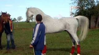 getlinkyoutube.com-Hylan - Arabian Horse - Haras Engenho, Laucidio Coelho