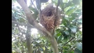 getlinkyoutube.com-Tổ chim chào mào trên cây bưởi da xanh trăm trái