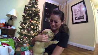 getlinkyoutube.com-Surprised my wife with a golden retriever puppy for Christmas