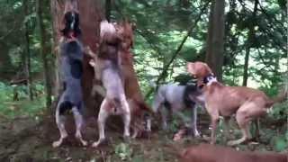 getlinkyoutube.com-Bear Hunting with Hounds