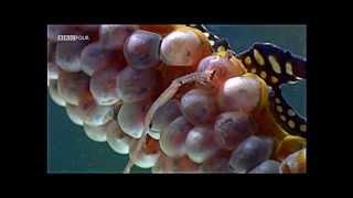 getlinkyoutube.com-Dragon Seahorse - giving birth