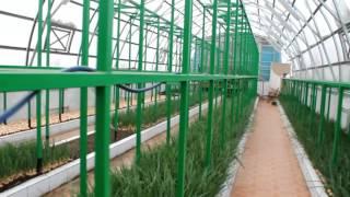 getlinkyoutube.com-Выгонка зеленного лука в теплице новое видео