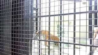 getlinkyoutube.com-虎が人間を襲う瞬間