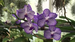 getlinkyoutube.com-Visit to an Orchid Greenhouse
