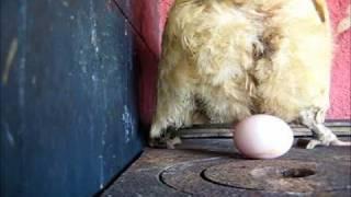 getlinkyoutube.com-galinha botando ovo