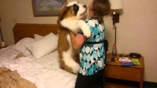 getlinkyoutube.com-St Bernard Puppy - Doesn't Want to go to Bed