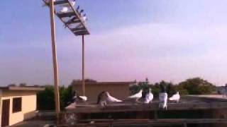 getlinkyoutube.com-high flyer pigeons