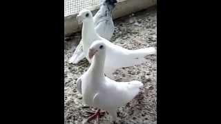 طيور حمام , ابو الخطاب طه -القدس - حمام فلسطين