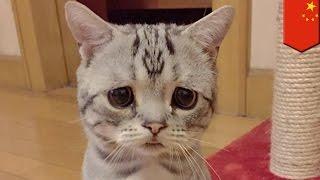 getlinkyoutube.com-Luhu: najsmutniejszy kot na świecie