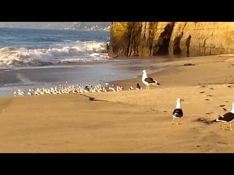 Seabirds chili moon nude beach - aves marinas en playa nudista luna