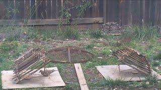 getlinkyoutube.com-Bird trap: Arapuca: In action and how to build