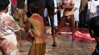getlinkyoutube.com-AKD Black Camel Qurbani 2016
