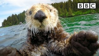 getlinkyoutube.com-Cute otters intimately filmed by spy camera - Spy in the Wild: Episode 2 Preview - BBC One