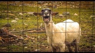 getlinkyoutube.com-The Screaming Sheep (Original Upload)