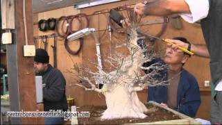 getlinkyoutube.com-Bonsai work Big Momiji, Taisho-en,By Jose Acuña.avi