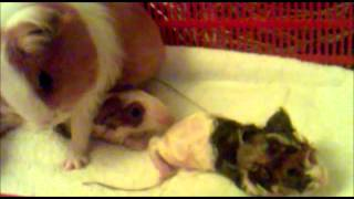 Guinea Pig Giving Birth