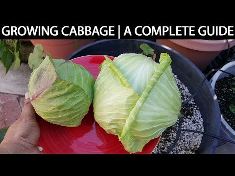 A Complete Guide To Growing Cabbage In Containers &  Raised Beds