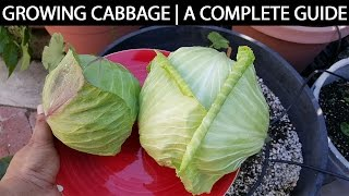 getlinkyoutube.com-A Complete Guide To Growing Cabbage In Containers &  Raised Beds