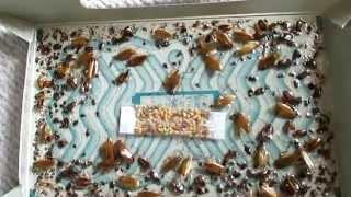 getlinkyoutube.com-【閲覧注意】ゴキブリホイホイを放置した結果