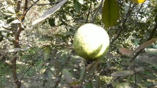 getlinkyoutube.com-बवासीर में राहत का उपाय | Home Remedy for Bawasir | अमरुद से बवासीर में आराम