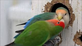 getlinkyoutube.com-Lovebird nest making ready to become a mother