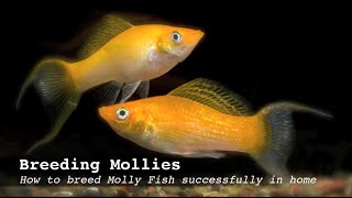 getlinkyoutube.com-Breeding Mollies:  How to breed Molly Fish successfully in home aquarium
