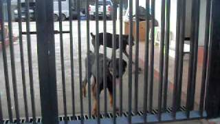 getlinkyoutube.com-rottweiler, pitbull guard dogs/ perros guardianes rottweiler, pitbull
