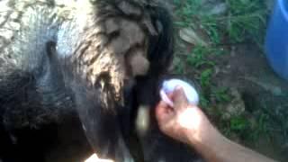 getlinkyoutube.com-castracion en chivos