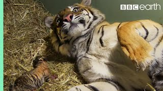getlinkyoutube.com-Birth of Twin Tiger Cubs - Tigers About The House - BBC