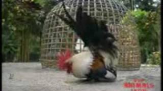 getlinkyoutube.com-BANTAM THAI(الجزء الأول)