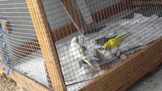 getlinkyoutube.com-الفطور المثالي لطيور البادجي وطيور الحب البيض المسلوق