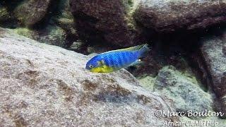 getlinkyoutube.com-Mara Rocks Lake Malawi - Lake Malawi Cichlids - HD Underwater Footage
