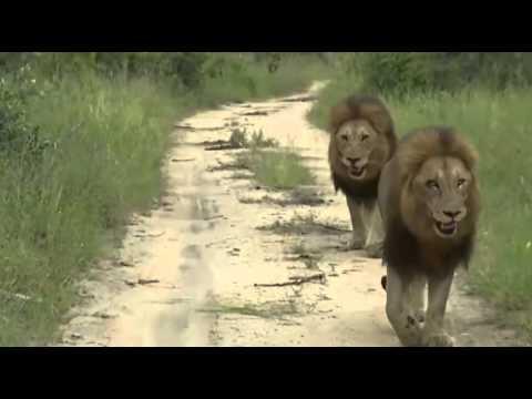 Dwa Lwy - dzika przyroda Afryki ,, Safari