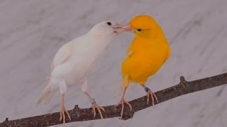 getlinkyoutube.com-coupling canary تزاوج الكناري accouplement de canaries