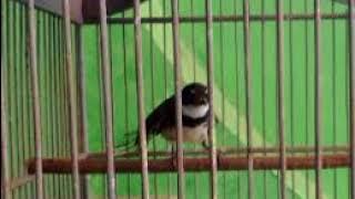 Masteran burung sikatan betina mancing suara jernih // ayoo buruan cobaa...!!!