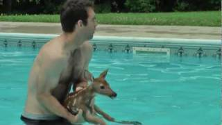 getlinkyoutube.com-Baby Deer trapped in Pool
