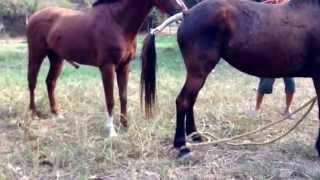 getlinkyoutube.com-ผสมพันธุ์ม้า
