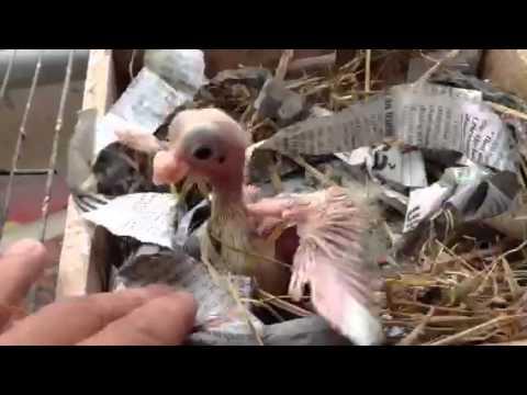 Chim bồ câu két con đầu tiên sống hihi