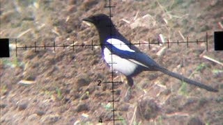 getlinkyoutube.com-Air Rifle Hunting - Magpies Pest Control video 4 /2014