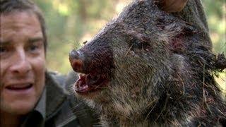 getlinkyoutube.com-Bear Eats Wild Pig - Born Survivor 6