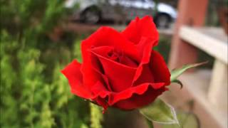getlinkyoutube.com-สวัสดีวันอาทิตย์ค่ะ กุหลาบแดงแจ้งเป็นสื่อคือความรัก