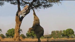 Gajah Vs Macan Tutul, Diserang Hingga Kepohon