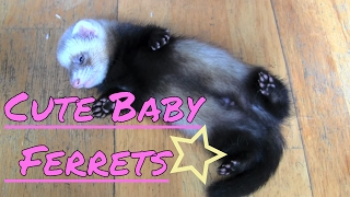 getlinkyoutube.com-Cute baby ferrets...heart warming!