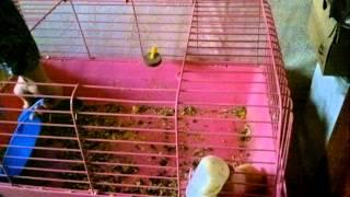 getlinkyoutube.com-морская свинка боится синий совок